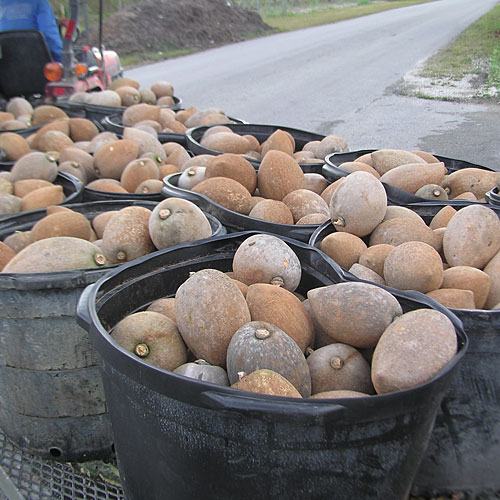 Bins of Picked Mamey